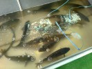 Живая рыба-Шатура