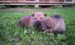 Чехословацкий влчак чехословацкая волчья собака, волчак